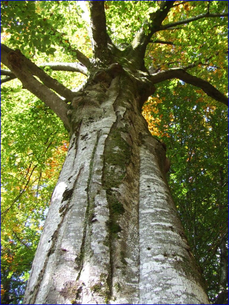 le bois de hêtre